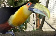 Videostřípky z EXOTY Olomouc 2018: tukani pestří, papoušci žlutočelí, kakadu havraní a trichy orlí