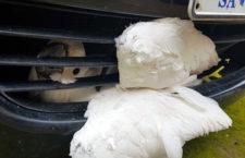 Kakadu přežil náraz automobilu v rychlosti 100 km/h i nedobrovolnou cestu v mřížce kapoty