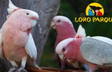 Loro Parque na Tenerife otevřel novou expozici pro papoušky kakadu, tvoří ji šest voliér s 13 druhy