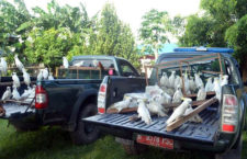 Policie na východní Jávě zabavila v ilegálních chovech 443 papoušků: eklektů, kakadu i loriů