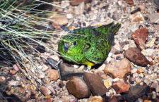 Výskyt papouška nočního potvrzen v Jižní Austrálii. Po nálezu peří jej prozradil hlas