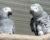 Registrovaných papoušků žako v Česku přibývá, k 30. červnu jich bylo 11 941. A co další papoušci CITES I?