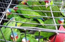 Veracruz je pašeráckým centrem Mexika, ročně jím projde nejméně 10 tisíc exotických ptáků