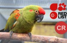 Ara červenouchý byl zařazen mezi kriticky ohrožené druhy, stejně jako ara kaninda