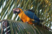 Pytláci na Floridě vychytali za osm let tři čtvrtiny zdivočelých arů araraun
