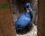 Zoo Jihlava: O zabavené kakadu palmové se staráme dobře, už se pokoušeli i hnízdit