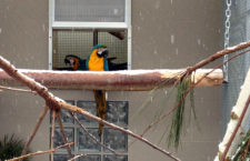 Papoušci a zima: pouštět ven, nebo ne?