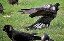 Západní Austrálie hlásí nejvyšší počet kakadu bělouchých za dobu sčítání těchto ptáků