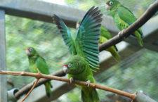 Vědci mapují genomy vzácných ostrovních amazoňanů. Chtějí odhalit tajemství papouščí dlouhověkosti