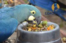 Loro Parque Fundación letos dá do záchranných projektů milion dolarů. Brzy vypustí ary kobaltové v Brazílii