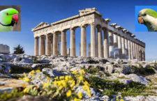 Řecko zahájilo sčítání invazních papoušků v Athénách, Soluni a na Krétě a Rhodosu