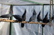 Srbský chovatel žádá o pomoc. Ze soukromého ptačího parku mu ukradli šest kakaduů palmových