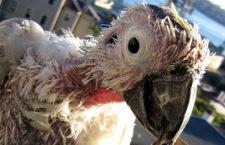 V osmi zemích Afriky a Asie byla nově potvrzena nákaza PBFD u volně žijících papoušků