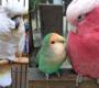Buďte pro vašeho ochočeného papouška kamarád, nikoli partner!