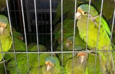 Papoušci v igelitových sáčcích ve dveřích auta: mexičtí pašeráci předčili indonéské pet lahve