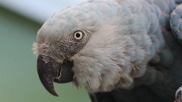 """V Brazílii vzniká chovné a """"vypouštěcí"""" centrum pro ary škraboškové, první ptáky získá v červenci"""