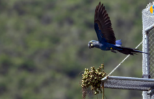 Loro Parque vypustil šest arů kobaltových odchovaných na Tenerife do brazilské přírody