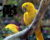 V Česku bylo ke konci roku 2020 podle Registru CITES přes 400 aratingů žlutých a 200 arů hyacintových