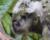 Kakapové soví letos prožívají populační explozi. Na chráněných ostrovech ale už není místo