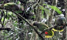 Do brazilského národního parku Araucarias vypustí dalších 36 amazoňanů vínorudých