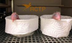 Německé ACTP hlásí první dvě mláďata arů škraboškových v letošní hnízdní sezóně