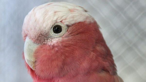 Zoo Brno rozšiřuje chov papoušků, pořídila si pár kakaduů růžových