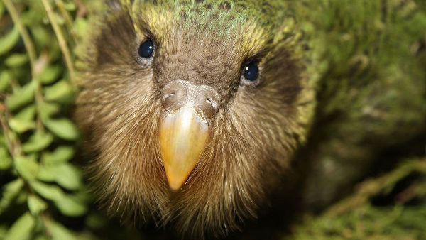 Při umělé inseminaci kakapů sovích pomáhají drony. Převáží sperma