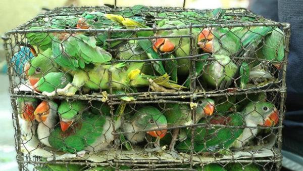 Razie na ptačím trhu v indické Kalkatě: v rukou policie skončilo devět pašeráků s 550 papoušky