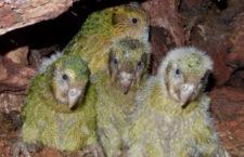 Přelomová hnízdní sezóna u kakapů sovích: 77 mláďat, celková populace stoupne o třetinu