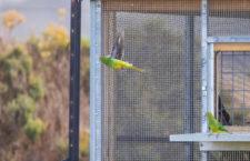 Ochránci vypustili 20 neofém oranžovobřichých na jihu Austrálie, mají pomoci přezimovat těm divokým