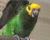Vratko Javro představí 15. června na semináři v Kálnici svůj chov papoušků žlutočelých