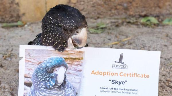 Češi si na dálku adoptují kakaduy z australského záchranného centra Kaarakin. Jak na to?