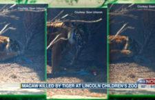 Volné létání ary se dětské zoo nevyplatilo. Přistál ve výběhu tygrů, kde ho zabili