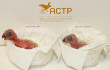 Německé ACTP oznámilo světový prvoodchov amazoňanů červenokrkých mimo jejich domovinu