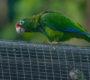 První vypouštění amazoňanů portorických od hurikánu Maria: 15 papoušků posílilo zdecimovanou populaci
