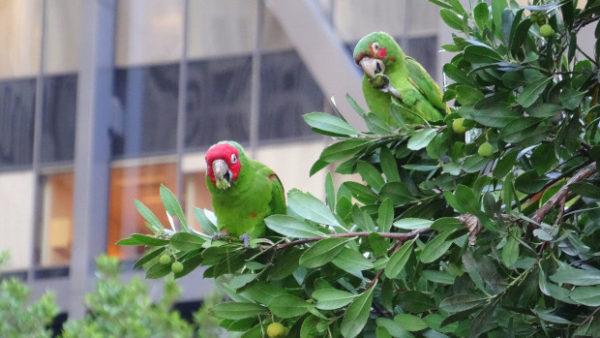 Invaze papoušků v USA: ve 23 amerických státech hnízdí celkem 25 nepůvodních druhů