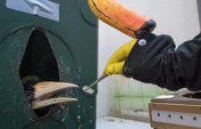 Zoo Praha se stala evropským rekordmanem v odchovu zoborožců nosorožčích