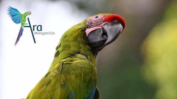 Kostarický projekt Ara Manzanillo vypustil do přírody devět arů zelených