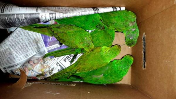 Pokuta za pašování amazoňanů žlutohlavých a aratingů kropenatých? 16 tisíc dolarů