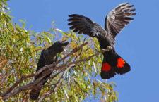 Dobré zprávy ze sčítání kakaduů havraních v Jižní Austrálii: meziročně přibyla třetina pozorování