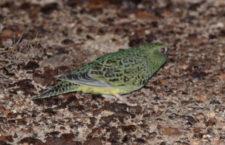 Australané umístí GPS lokátory na divoké kočky, aby zjistili, kudy a kdy chodí lovit papoušky noční