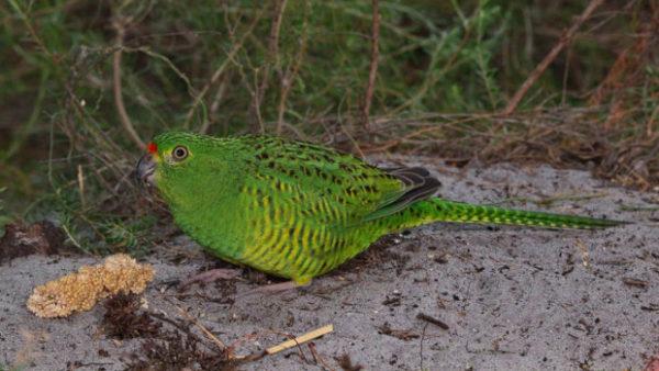 Změna klimatu ohrožuje papoušky zemní západní, ochránci je chtějí přestěhovat do vhodnějších lokalit