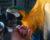 Páté hnízdění arů araraun v šumperském paneláku: co přineslo?
