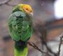 Invaze papoušků do Evropy: ve velkoměstech žije volně už 11 druhů. Kde a které?