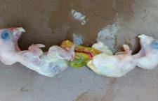 Dvě mláďata papouška v jednom vejci? Povedlo se u aratingů žlutých na Slovensku