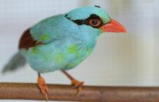 Mládě kriticky ohrožené krasky krátkoocasé jávské odcestovalo ze Zoo Praha do anglické Whipsnade Zoo