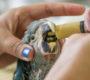 Brazílie má nový akční plán na záchranu ary škraboškového do roku 2024