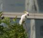 Mohou invazní papoušci zachránit svůj druh, kterému v domovině hrozí vyhubení?