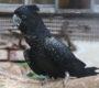 Na návštěvě u Lumíra Horňanského, chovatele kakaduů havraních, trichů orlích a amazoňanů žluté linie