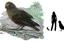 """Paleontologové na Novém Zélandu objevili """"squawkzillu"""", obřího papouška z pravěku"""